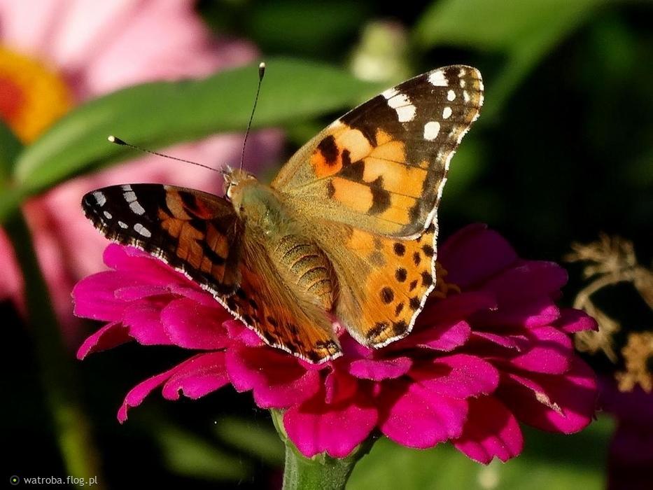1b3a598136057 Marysiu widok kilku motyli niech Ci dzień umili .... Pozdrawiam wszystkich  serdecznie słonecznej