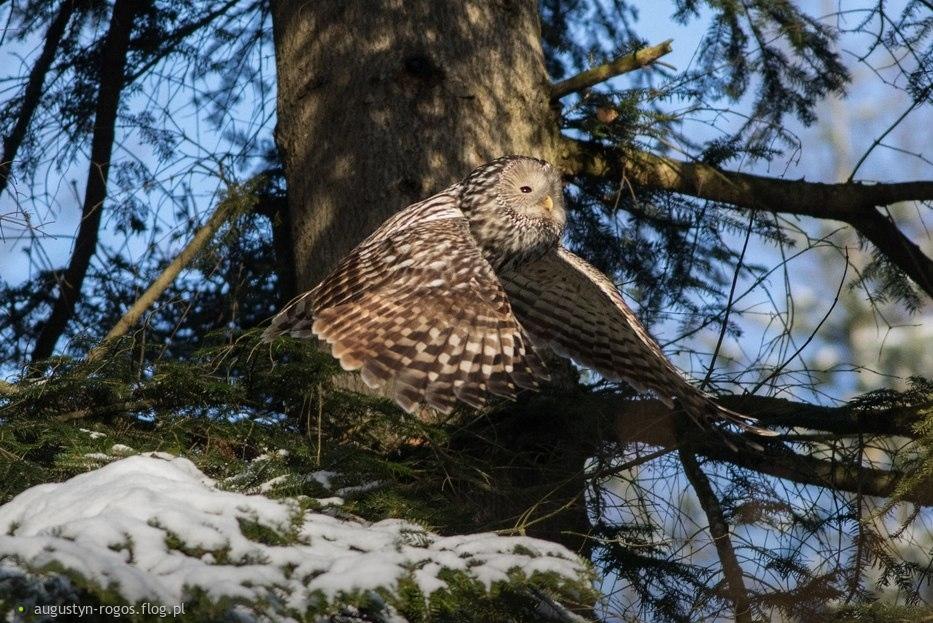 Puszczyk Uralski, Ural Owl (Strix uralensis)