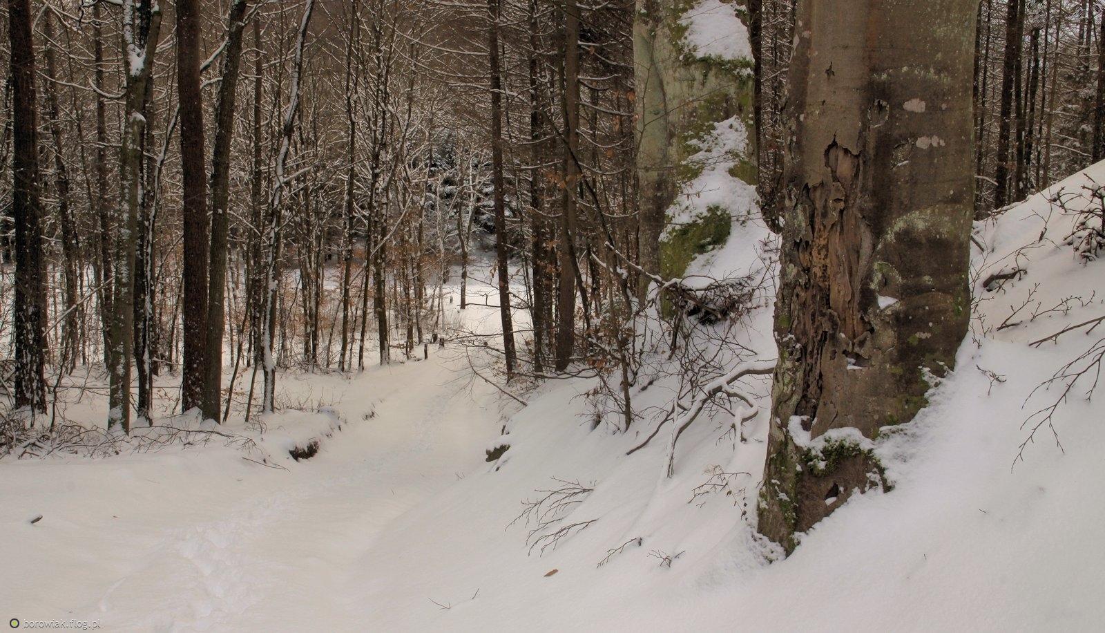 Włóczęgi śniegowe i bezśniegowe po Puszczy Darżlubskiej...