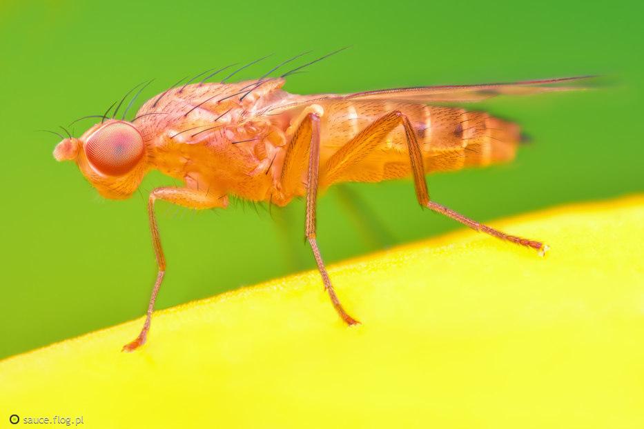 Meiosimyza sp.