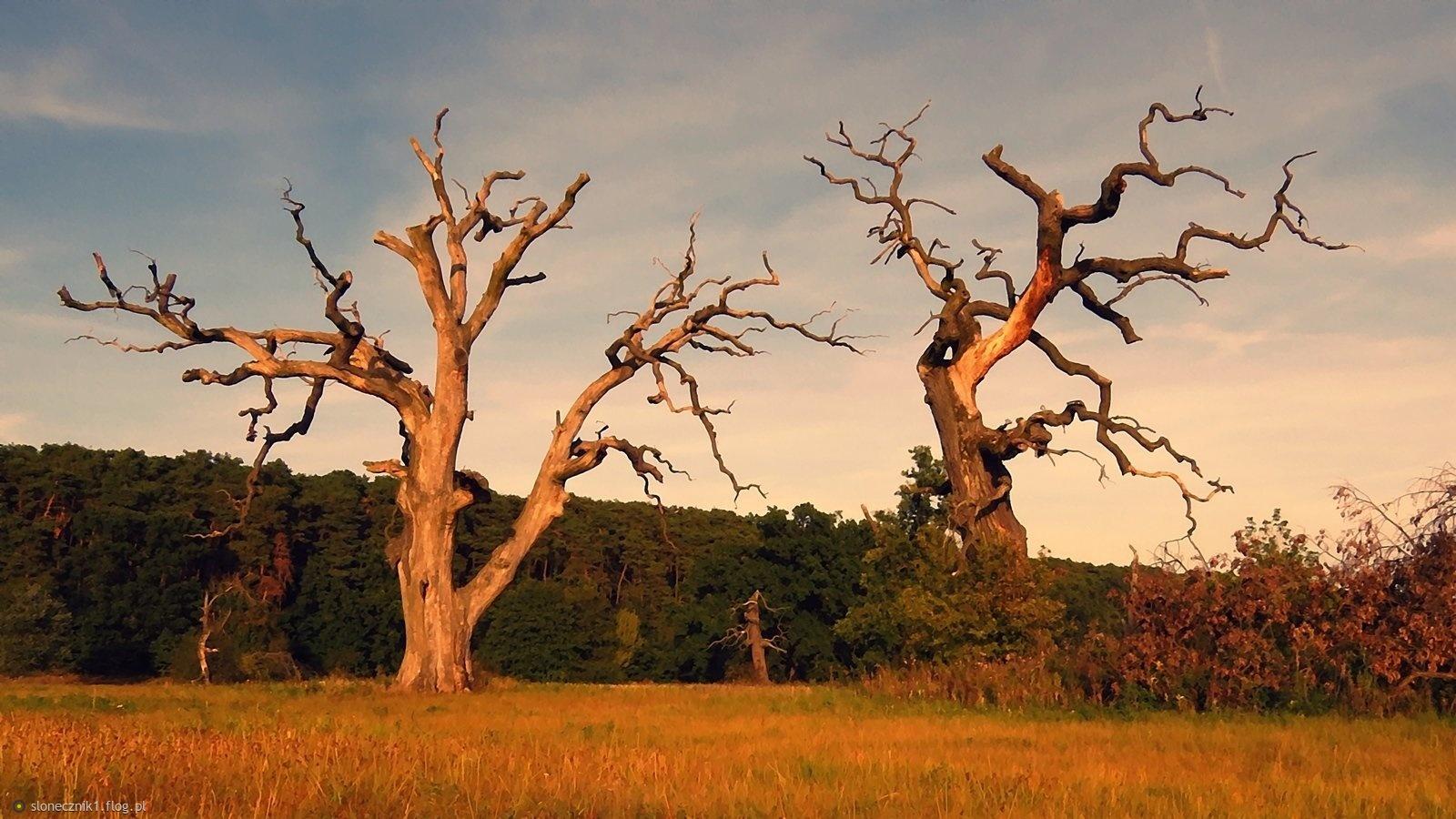 W niezwykłym świecie rogalińskich drzew