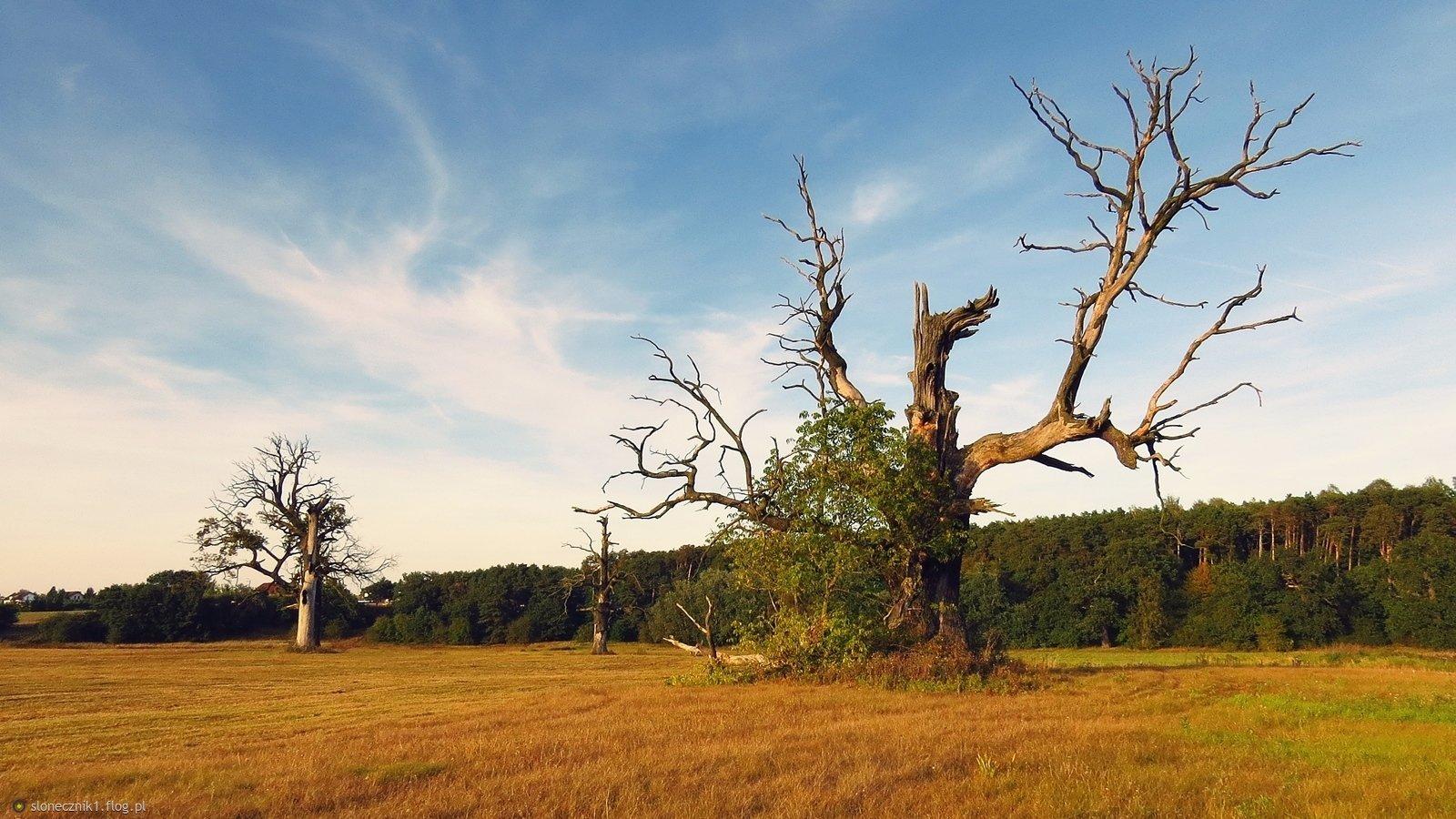 W niezwykłym świecie rogalińskich drzew - jest taki jeden dąb Ozyrysem lub Orłem zwany