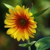 Słonecznikowe słoneczko d<br />la Was - choć za oknem zi<br />ma