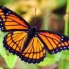 VICEROY :: Motyl ktorego latwo pomyl<br />ic z Monarchem. Bartlomie<br />ju roznice miedzy tymi mo<br />tylami podpowiedziala mi