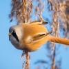 Wąsatka. :: Pierwszy w tym roku wypad<br /> po zamarznięciu rozlewis<br />ka zapisał się do udanych<br />.Mimo wiatru ptaki dob