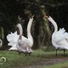 Mute Swan, Łabędź niemy (<br />Cygnus olor) - Photograph<br />er London, www.moonflash.<br />eu
