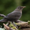 Blackbird, Kos (Turdus me<br />rula) - Photographer Lond<br />on, www.moonflash.eu